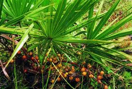 collateral damages of using saw palmetto