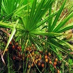 What are the side effects of Saw Palmetto?